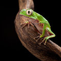 Tree frog with big eyes Stock Photos