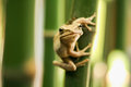 Tree frog on branch frogs two islands in the bamboo garden Stock Image