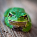 Tree frog in close-up Royalty Free Stock Photography