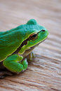 Tree frog in close-up Royalty Free Stock Photo