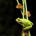 Tree frog crawling Royalty Free Stock Photo