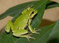 Tree Frog On A Green Leaf.