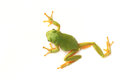 Tree frog Hyla arborea on a white background Royalty Free Stock Photo