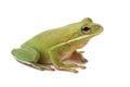Tree frog Litoria infrafrenata Royalty Free Stock Photo
