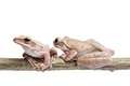 Tree frog on papyrus Stock Photography