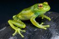 Tree frog species madagascar beautiful golden eyes Stock Image