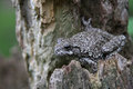 Tree Frog on a Stump Royalty Free Stock Photo