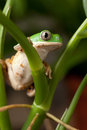 Tree frog in tropical amazon rain forest Stock Photos