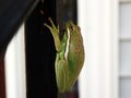 Tree frog on wooden rain holding onto rail from deck Royalty Free Stock Photos