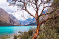 Tree in front of Llanganuco glacier lagoon in Peruvian Andes Royalty Free Stock Photo