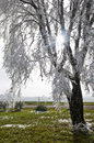 Tree with Frost Laced Branches and Sunburst Royalty Free Stock Photo