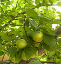 Tree with fruit apricot Royalty Free Stock Photos