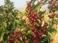 Tree full of berries