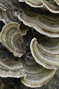 Tree fungus Royalty Free Stock Photo