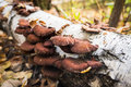 Tree fungus growth on the tree Royalty Free Stock Photo