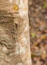 Tree Gecko Head Down On A Log
