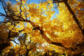 Tree with golden leaves in autumn Royalty Free Stock Images