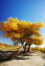 Tree with golden leaves in autumn Stock Images