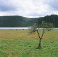 The tree of the grasslands one stand on there are some horses and lake in distance Royalty Free Stock Photography