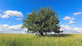 Tree on greem meadow alone green Stock Photo