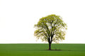 Tree on green field in full leaf in a summer Royalty Free Stock Photo
