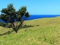 Tree on green hill by sea rolling hills the with lush meadows and a at a sunny day australian nature Royalty Free Stock Images