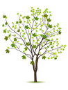 Tree with green leafage Royalty Free Stock Photography