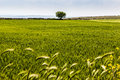 Tree in the green a single lone a beautiful rural landscape south italy Royalty Free Stock Photos