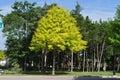 Tree Health Problems: Chlorosis