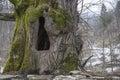 Tree hollow Royalty Free Stock Photo