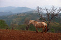Tree and horse in mist at Doi angkhang , Chiangmai Royalty Free Stock Photo