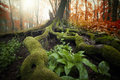 Tree with huge roots covered with green moss and plants in a beautiful forest in autumn Royalty Free Stock Photography