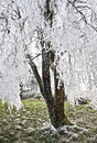 Tree with Icy Frost Laced Branches Stock Photo