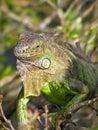 Tree iguana Stock Images
