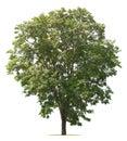 tree isolate on white Royalty Free Stock Photo