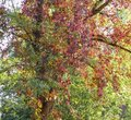 Tree the ivy, a tree of color of fall, fall, autumn paints, red leaves, yellow leaves, autumn twisted a tree, Royalty Free Stock Photo