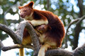 Tree kangaroo unique with baby sitting high in a limb good background with photo taken in landscape mode Royalty Free Stock Photography