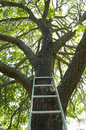 Tree Ladder Royalty Free Stock Photos