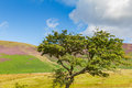 Tree in Latrigg overlooking Keswick and Derwent Water, Cumbria, Royalty Free Stock Photo