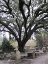 Large old tree within a historic cenetery in Charleston,SC