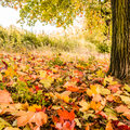 Tree and leaves autumn Royalty Free Stock Images