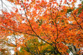Tree leaves change color in autumn Royalty Free Stock Photo