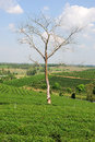 Tree without leaves on a hill of tea plantation Royalty Free Stock Image