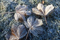 Tree leaves with hoar frost, placed on frosty grass. Royalty Free Stock Photo
