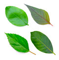 Tree leaves isolated on white background Royalty Free Stock Photo