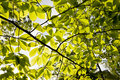 Tree leaves in sunlight Royalty Free Stock Photo