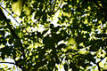 Tree Leaves in Sunshine Royalty Free Stock Photo
