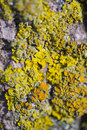 Tree lichens closeup Royalty Free Stock Photo