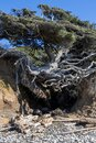 The tree of life on the coastline of Olympic National Park Royalty Free Stock Photo
