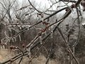 Tree limbs encased in ice Royalty Free Stock Photo